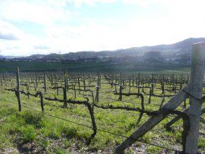 Moderne Cordon- Erziehung in der Vinho Verde DOC